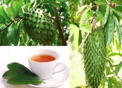 Soursop (Shul Ram Fal), kills Cancer effectively than Chemotherapy