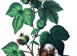 Cotton Plant, Medicinal Usage and Health Benefits in Ayurveda