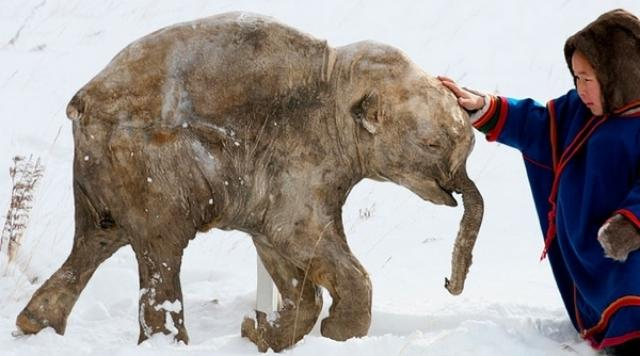 frozen woolly mammoth siberia
