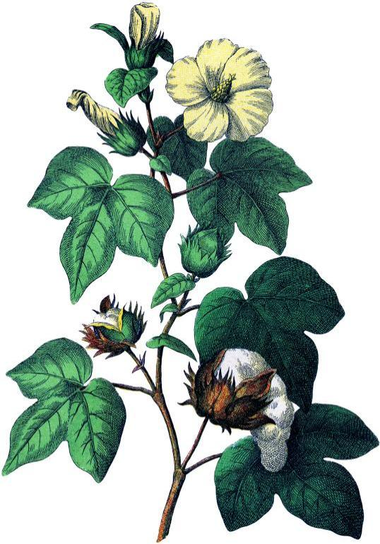cotton plant ayurveda