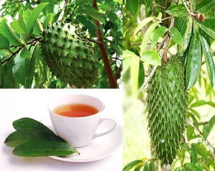soursop fruit and leaves for cancer treatment