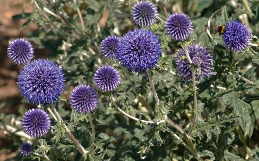 Indian globe thistle or Bodatharam