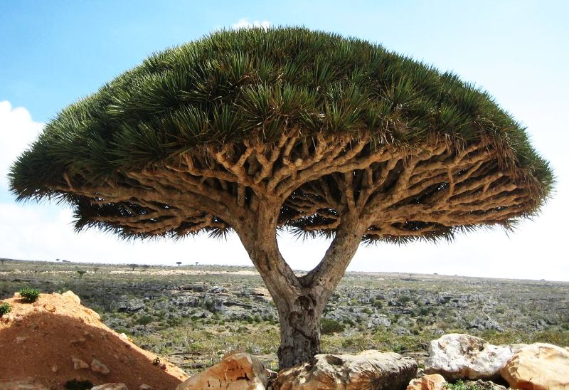 Socotra dragons blood tree
