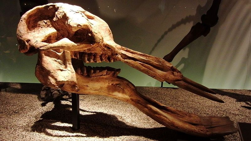 Platybelodon Grangeri Skull