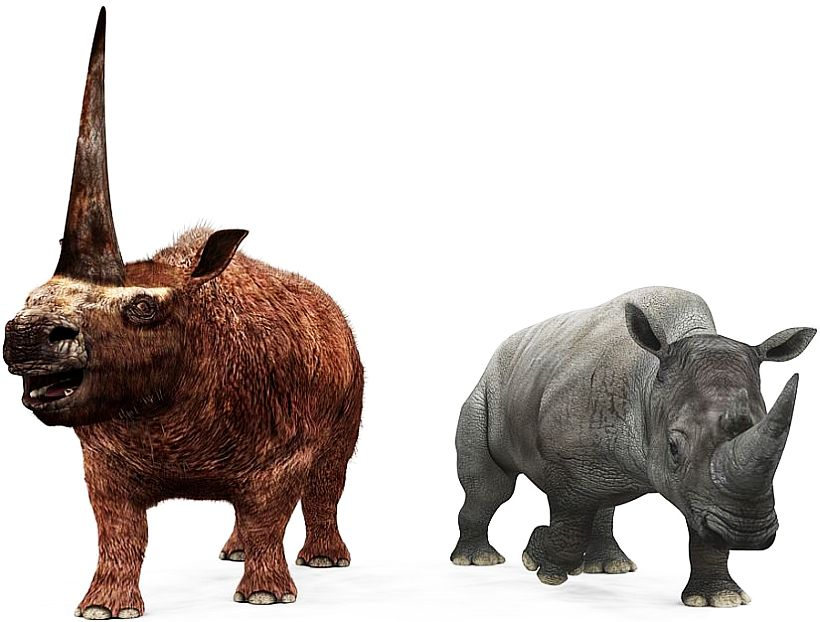 Elasmotherium and Rhino Compared