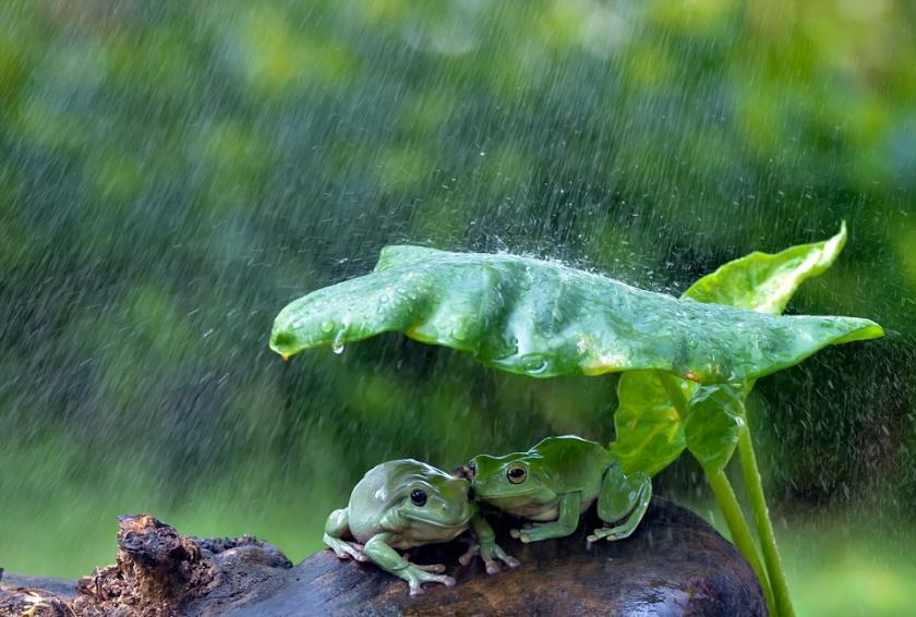 Frogs in rain Rig Veda